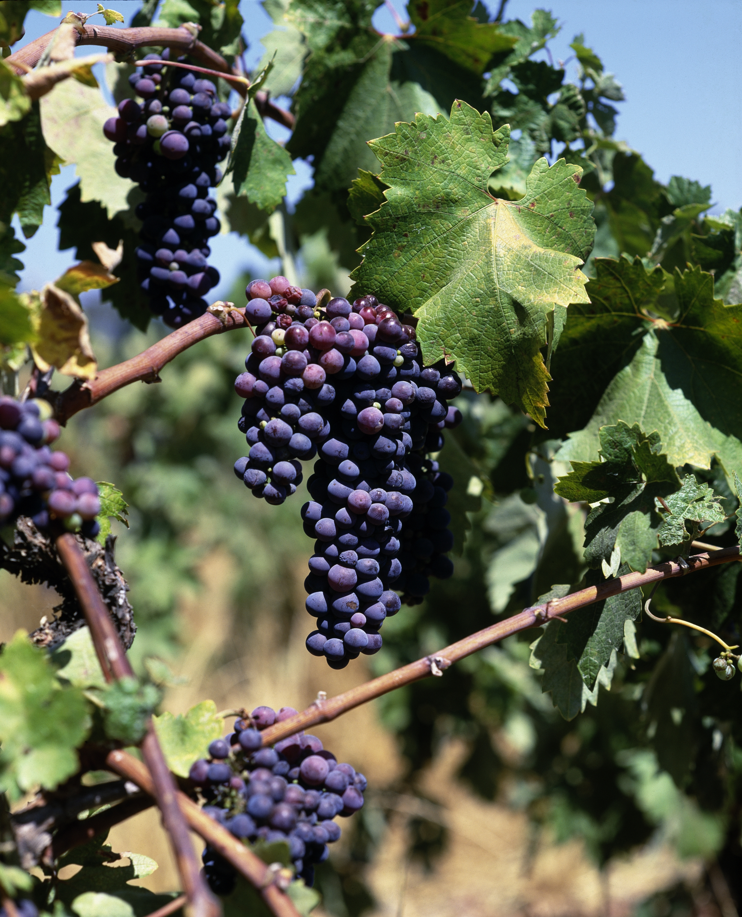 The Coming of Age of Pinotage